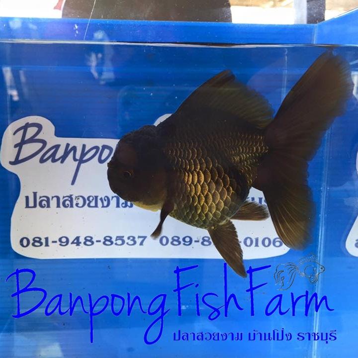 GoldFish_PrachaFarm_20151221_1