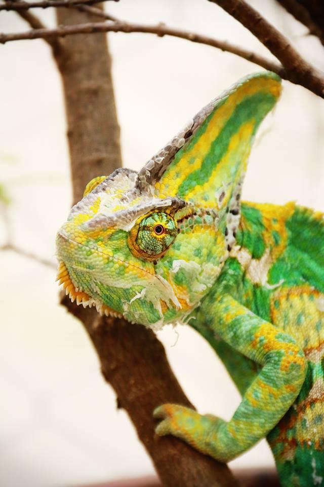Veiled Chameleon กิ้งก่าเวลล์คามิเลียน