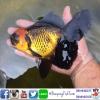 ปลาทอง ออลันดา