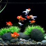 การเตรียมน้ำสำหรับเลี้ยงปลาทอง และวิธีการลงปลาทองที่ซื้อมาเลี้ยงใหม่