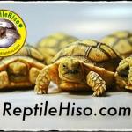 เต่าซูคาต้า (Sulcata Tortoise)