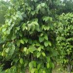 พริกไทย เน้นที่ความสมบูรณ์แข็งแรงของต้นเป็นหลัก แล้วผลลัพธ์ออกดอกออกผลจะตามมาเอง