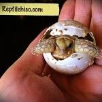 เต่าซูคาต้า (Sulcata Tortoise) เต่าบก เต่ายักษ์ใหญ่อันดับ 3 ของโลก