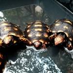 เต่า Cherry Head Redfoot Tortoise เต่าหนูน้อยหมวกแดง แห่งAmazon