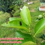 ห้องเรียนเกษตรอินทรีย์ขั้นพื้นฐาน บทที่4 การจัดการแมลงศัตรูพืช (2/2)