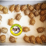 การดูแลลูกเต่าซูคาต้า เต่าบก เต่ายักษ์อันดับ 3 ของโลก