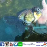 ปลาทอง ออรันดา