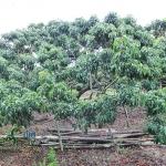 รีวิว สวนลำไยพี่เด่น อ.โป่งน้ำร้อน จ.จันทบุรี