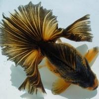 ปลาทองพันธุ์ โทะซะกิน