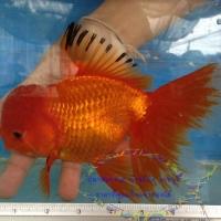 ปลาทองพันธุ์ ออรันดา