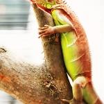 Red Iguana (อีกัวน่าแดง)