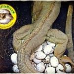 Green Iguana Breeding Set ชุดผสมพันธุ์ ตัวผู้ 1 ตัว ตัวเมีย 2 ตัว
