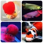 เลือกเลี้ยงปลาสวยงามเพื่อเสริมบารมี และเป็นมงคล