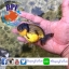 ปลาทอง สิงห์ลูกผสม thumbnail 1